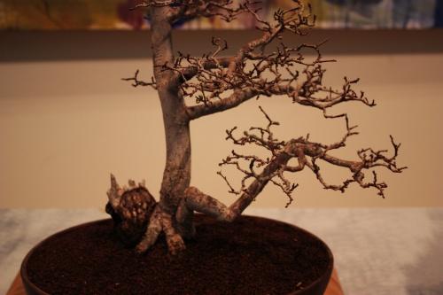 Bonsai Aqui detalle del Olmo Azotado por el viento - torrevejense
