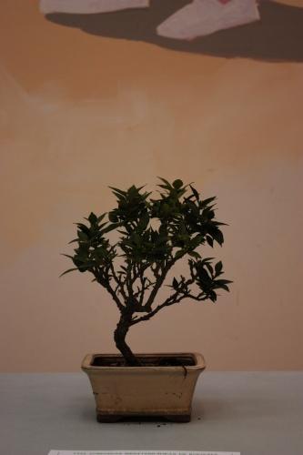 Bonsai 4862 - torrevejense