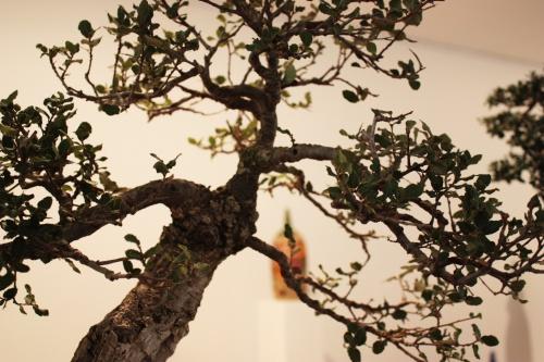 Bonsai 4914 - torrevejense