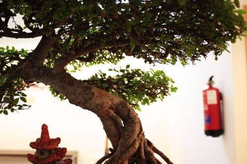 Bonsai Bonita curva del tronco - torrevejense