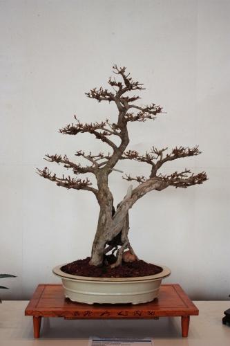 Bonsai 4946 - torrevejense