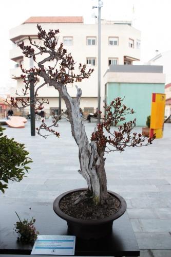 Bonsai 4986 - torrevejense