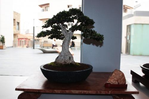 Bonsai 4990 - torrevejense