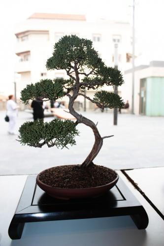 Bonsai 4994 - torrevejense