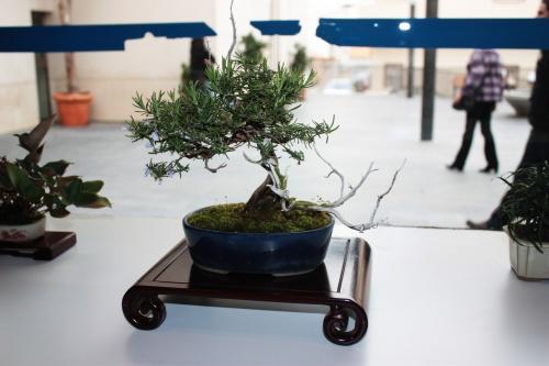 Bonsai 5002 - torrevejense