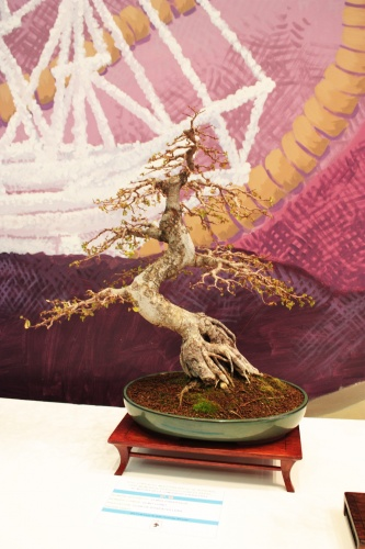 Bonsai Olmo Chino - Club Bonsai Villena en Torrevieja - torrevejense
