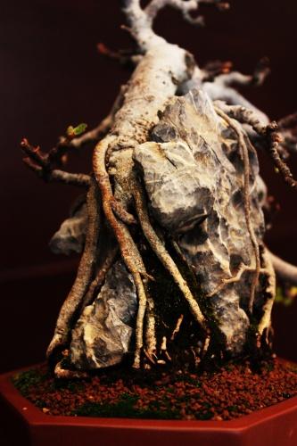 Bonsai Ejemplo de bonsai con raices sobre roca - torrevejense