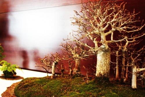 Bonsai Bosquecillo Mame de Olmos - VIII Jornadas Mediterraneas de bonsai - torrevejense