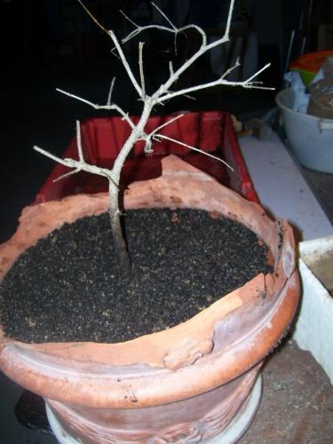 Bonsai Granado  esqueje del 2007 - SARRUT