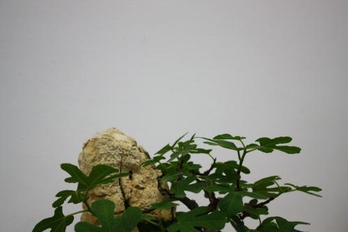 Bonsai Detalle parte superior bonsai higuera - Mutxamel 2010 - CBALICANTE