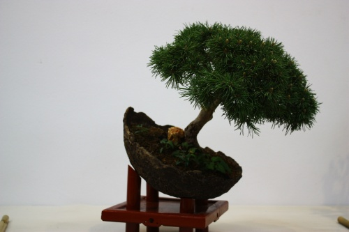 Bonsai Pinus Mugho - Miguel March - Club Bonsai Alicante 2010 - CBALICANTE