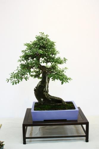 Bonsai 5418 - CBALICANTE