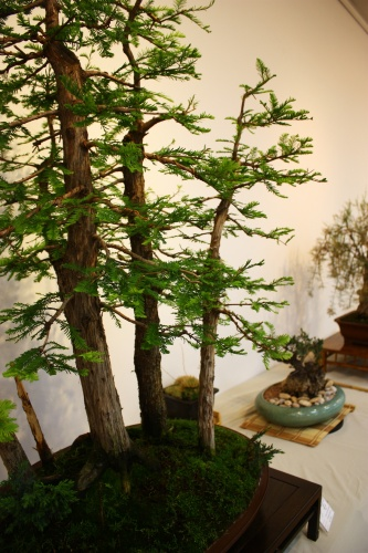 Bonsai Taxodium Disticum Bosque de Bonsais - Juan Ortega - CBALICANTE