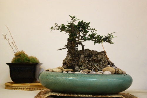 Bonsai Olivo con un tronco muy grande - Juan Antoranz 2010 - CBALICANTE