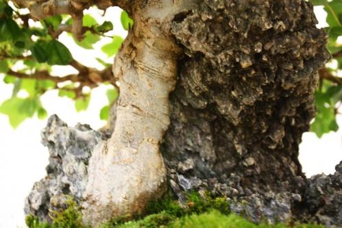 Bonsai El tronco perfectamente fusionado con la Roca - CBALICANTE
