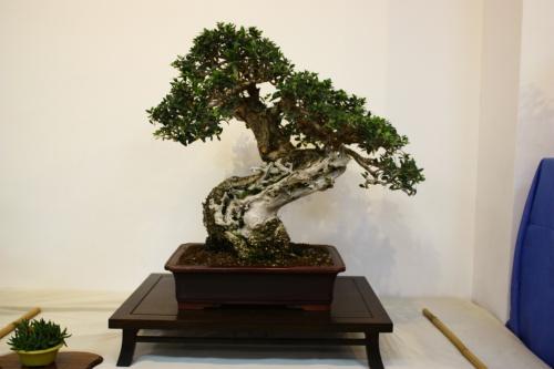 Bonsai 5458 - CBALICANTE