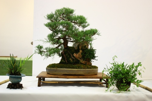Bonsai Tamarix Gallica - Bonsai Alicante - CBALICANTE