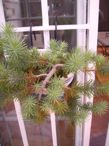 pino prebonsai mayo 2010