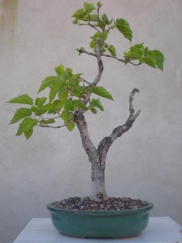 Bonsai Morera - Salva