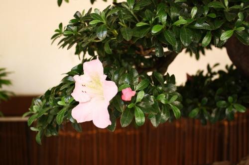 Bonsai Flor del Rododendro - Amigos del Bonsai Lorca