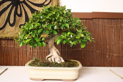 Bonsai Ficus Microcarpa - Juan Gomez Hernandez - Lorca 2010 - Amigos del Bonsai Lorca