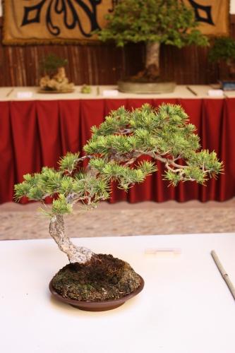 Bonsai Pino Silvestre - Pinus Sylvestris - Miguel Moreno Aragon - Lorca 2010 - Amigos del Bonsai Lorca