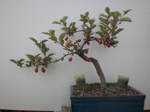 Bonsai Eleagnus-B - Elias