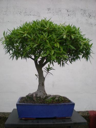 Bonsai Ficus nerifolia - Elias