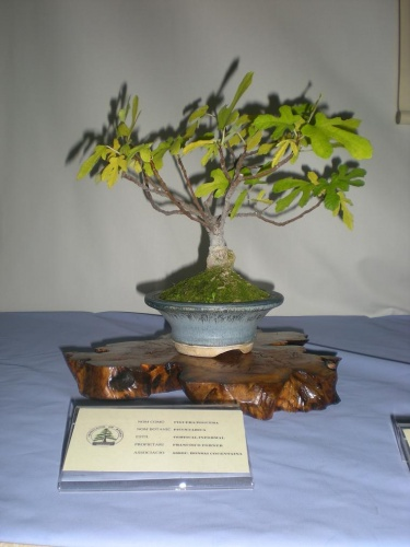 Bonsai Higuera - Cocentaina