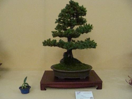 Bonsai Picea glauca - Vila-real