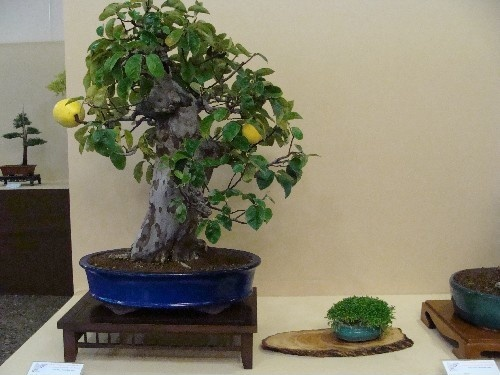 Bonsai Pseudocidonia chinensis - Vila-real