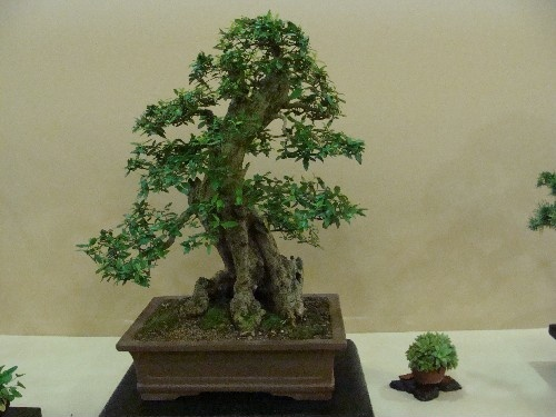 Bonsai Granado - Vila-real
