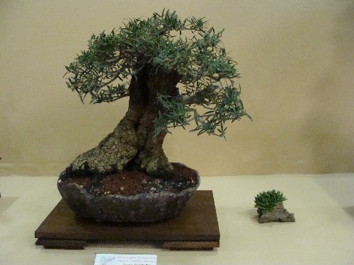Bonsai Labiernago - Vila-real