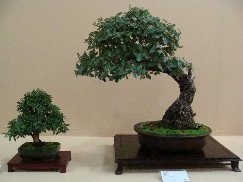 Bonsai Encina - Vila-real