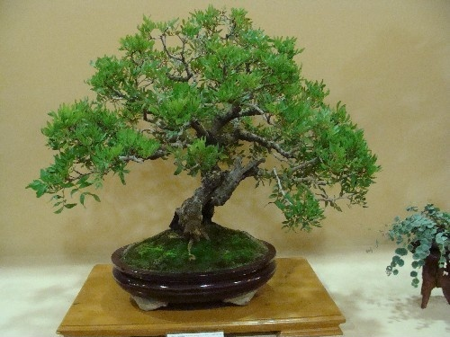 Bonsai Lentisco - Vila-real