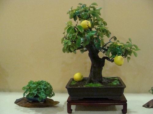 Bonsai Pseudocidonia chinensis - Vila-real
