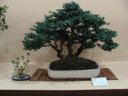 Bonsai Boj - Vila-real