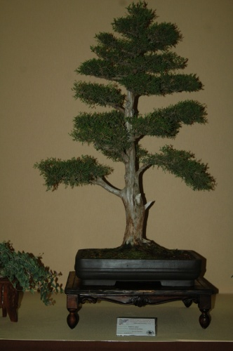 Bonsai 7086 - aebonsai