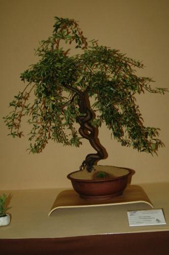Bonsai Espino de fuego, Bonsai Novelda - aebonsai