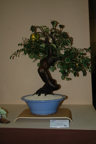 Bonsai Membrillero Chino - Bonsai Novelda - aebonsai