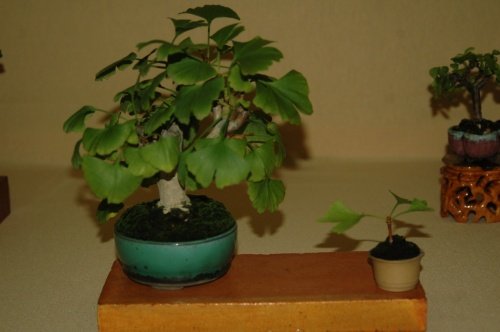 Bonsai 7178 - aebonsai