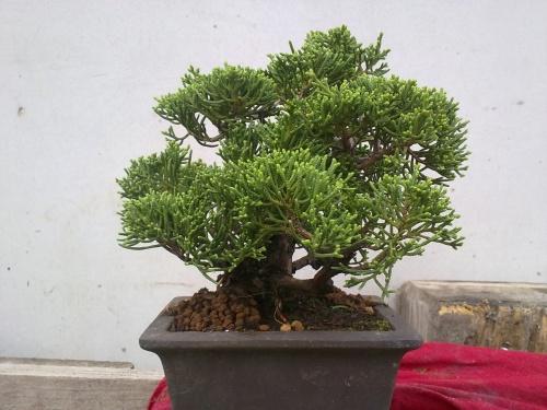 Bonsai Junipero Shimpaku - Tino Blasco
