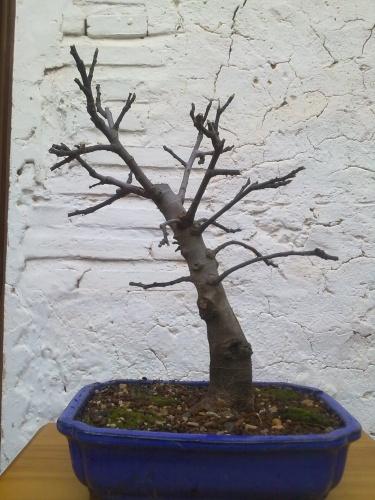 Bonsai higuera (ficus carica) 1 - javel