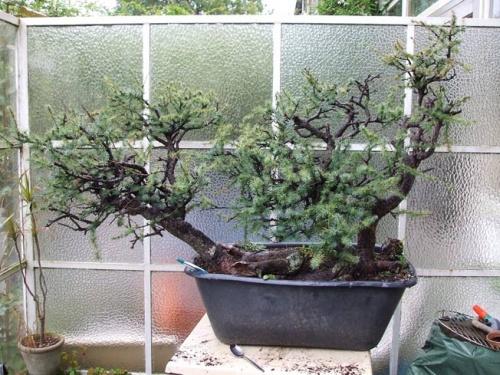 Bonsai 7658 - machiel van den broek