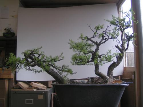 Bonsai 7662 - machiel van den broek