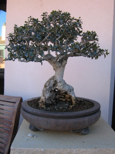Bonsai acebuche en escoba - miguel angel moreno