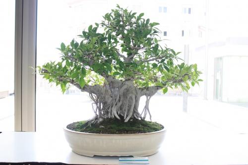 Bonsai Ficus Retusa de Vicente Vidal - torrevejense
