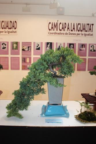 Bonsai Juniperus Rigida - Novelda Club Bonsai - torrevejense