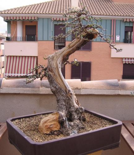 Bonsai acebuche tras defoliado y alambrado - miguel angel moreno