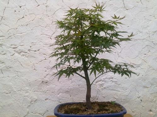 Bonsai arce palmatum - javel